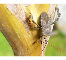 A stink bug sitting on the bark of my Crepe Mrytle tree in San Antonio, Texas Photographic Print