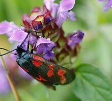 Burnet Moth by Martina Fagan