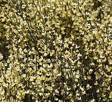 Broom Flowers by Zosimus