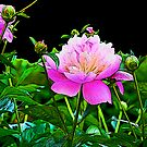 Pink Peony by Zolton