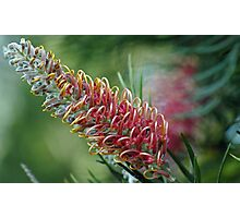 pink grevillea Photographic Print