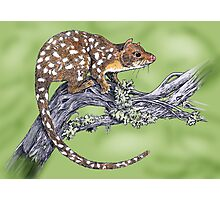 Spotted tailed Quoll Photographic Print
