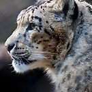 Snow Leopard  Melbourne Zoological Gardens  Victoria by William Bullimore