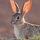 Cottontail Rabbit by psnoonan