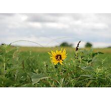 Lone Sunflower in Pasture Photographic Print