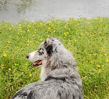 Australian Shepherd Gazes at Pond by Suz Garten