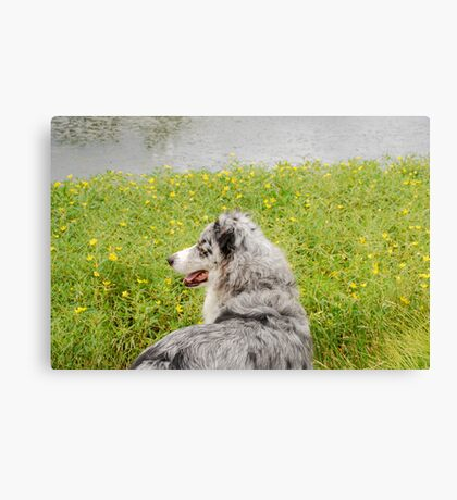 Australian Shepherd Gazes at Pond Canvas Print