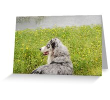 Australian Shepherd Gazes at Pond Greeting Card