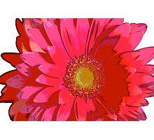 Pink Gerbera Daisy Photographic Print