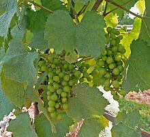 Ripening Grapes by Margie Avellino