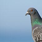 Rock Dove by Leroy Laverman