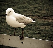 Senor Seagull by Megs D
