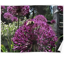 Bumble Bee & Allium Poster