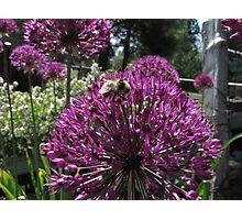 Bumble Bee & Allium Photographic Print