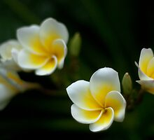 Plumeria by quotidianphoto