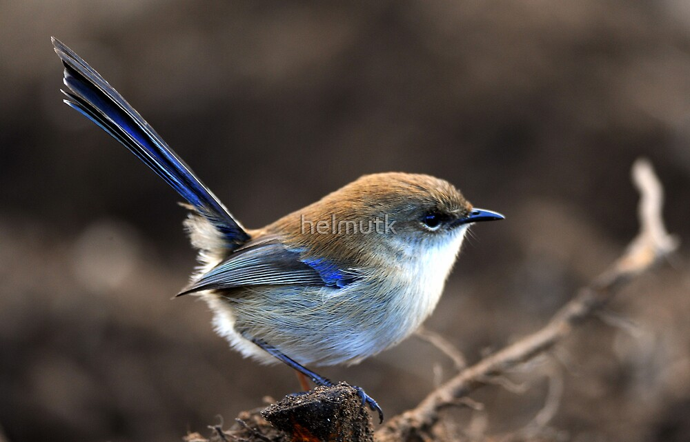 """ Superb Fairy -wren   II "" by helmutk"