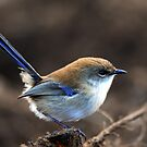 &quot; Superb Fairy -wren   II &quot; by helmutk