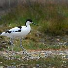 AVOCET - (Recurvirostra avosetta) by FoxfireGallery / FloorOne Photography