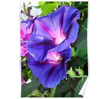 A Pair of Vibrant Morning Glories In Full Bloom Poster