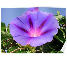 Purple Colored Morning Glory Flower Garden Background  Poster