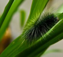 Fluffy Caterpillar by quotidianphoto