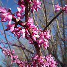 Kentucky Spring Beauty by Virginia Shutters