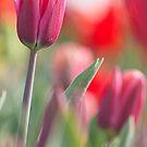 Happy Tulip by Lindie Allen
