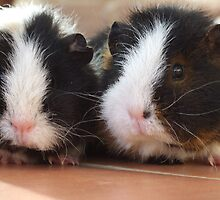 Guinea Pigs by Pete Simmonds