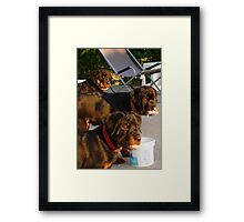 Piggy In The Middle Framed Print