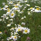 Field of Daisy Fleabane by debbiedoda