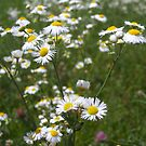 Field of Daisy Fleabane by debbiedoda