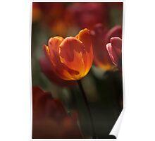 Backlit Tulip  Poster