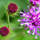 Western Ironweed Buds by ©Dawne M. Dunton