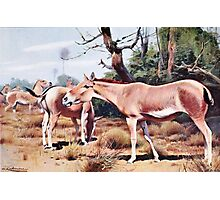 Onager Vintage Illustration Photographic Print