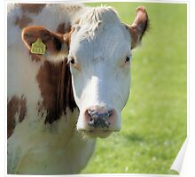 A typical dutch cow Poster