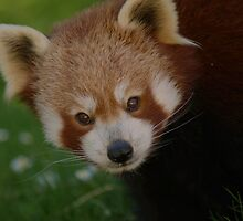 Red Panda by Franco De Luca Calce