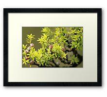 Manuka Buds Framed Print