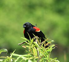 Red-Winged Blackbird by Virginia N. Fred