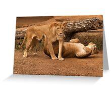 Juvenile Lions playing Greeting Card