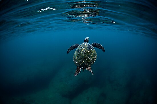 honu by Flux Photography
