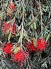 Weeping Grevillea - Ruby Red by Graeme  Hyde