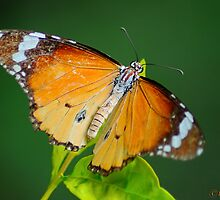 Butterfly by naiyer