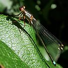 DamselFly by AnnDixon
