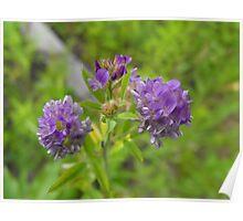 Alfalfa- Medicago staiva- Purple Poster