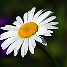 Oxeye Daisy  by Teresa Zieba