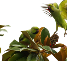 Wild African Ring Necked Parakeets Sticker