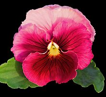 Pretty Pansy by Coloursofnature
