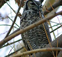 Horned Owl in the Tree Above Me by Donna Ridgway