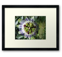 Passieflora - Passionflower Framed Print