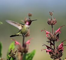 Happy Hummingbirds by DARRIN ALDRIDGE